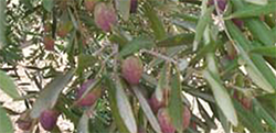 huile-olive-equitable
