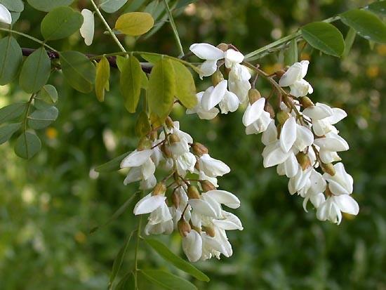 Fleur du robinier
